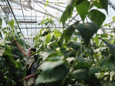 Production de légumes en serre