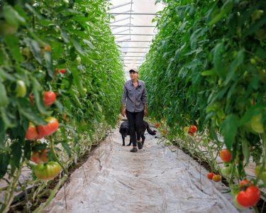 Travail en serre de tomate