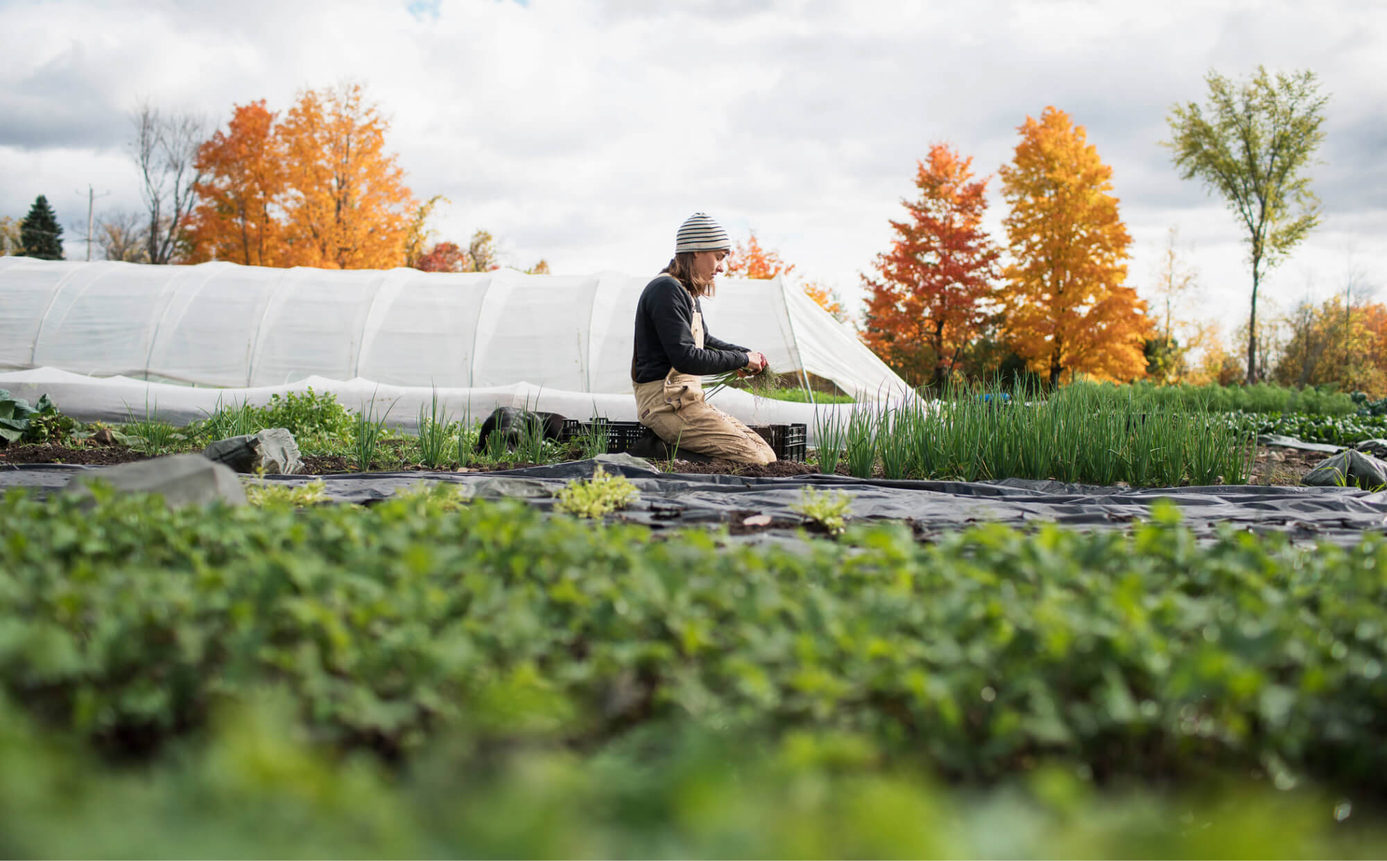 Person harvesting carrots
