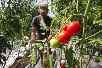 Tomates de serres