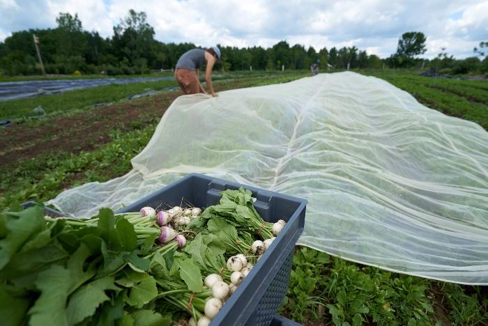 Les filets anti-insectes plutôt que de biopesticides est l'option la plus judicieuse financièrement. / Crédit : Alex Chabot